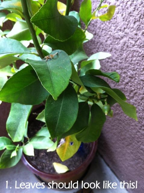 garden lemmon tree: