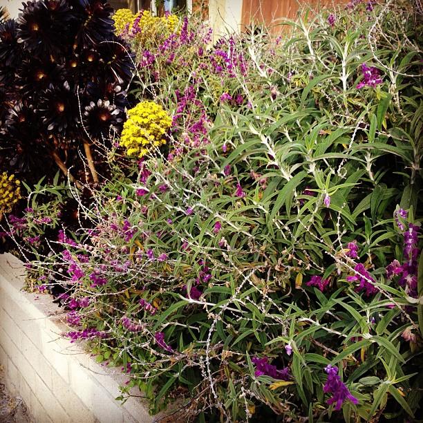 Garden Eats Sage