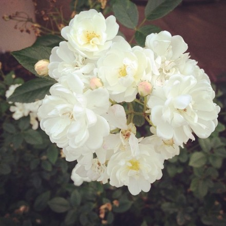 Garden Eats Popcorn Roses For Rosewater Spray