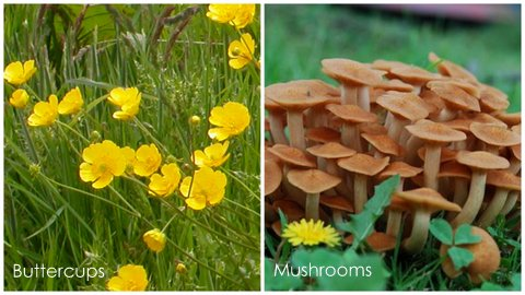 Garden Eats Buttercups-Mushrooms