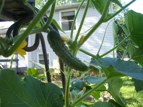 Garden Eats grow great cucumbers
