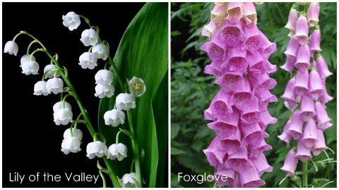 Garden Eats Lily-Foxglove