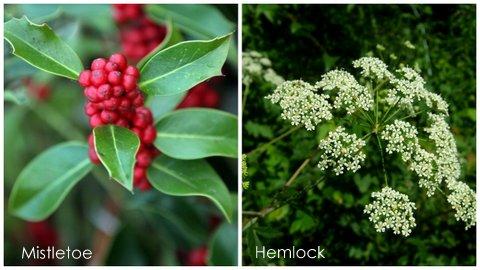 Garden Eats Mistletoe-Hemlock