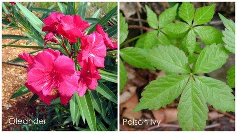 Garden Eats Oleander-Poison Ivy