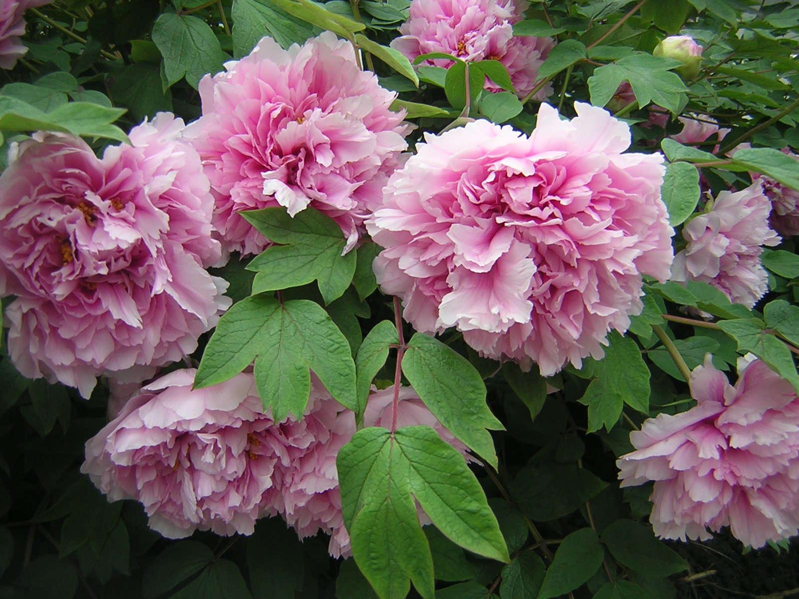 Should I Prune My Dead Peony Flowers? | Garden Eats