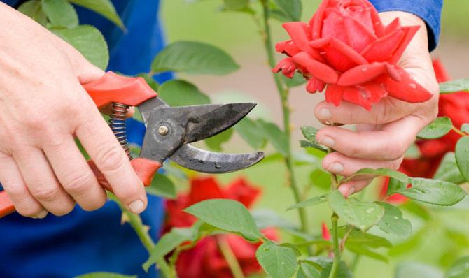 Garden Eats cutting roses