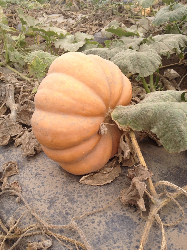 Garden Eats Halloween Edible Pumpkin