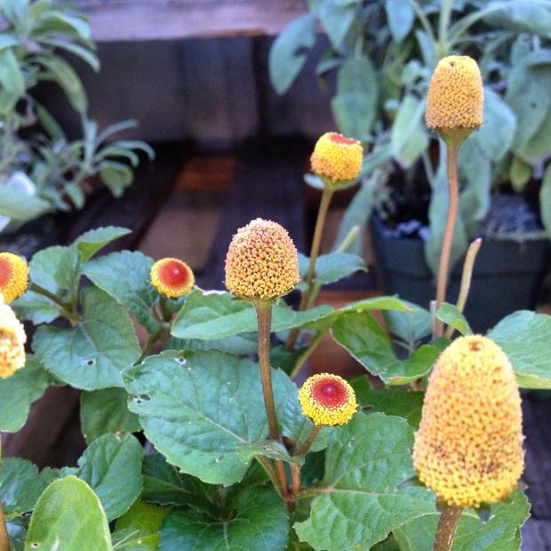 Garden Eats Buzz Button Toothache Herb