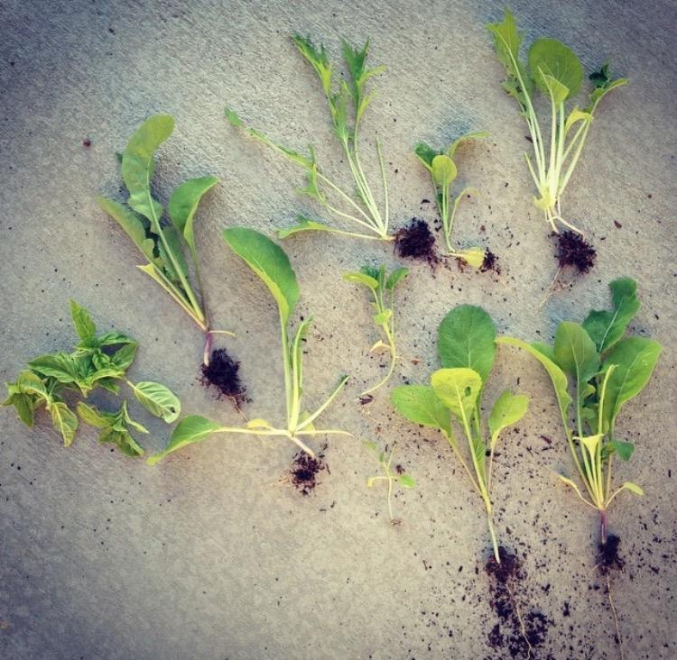 Garden Eats Microgreen Collection