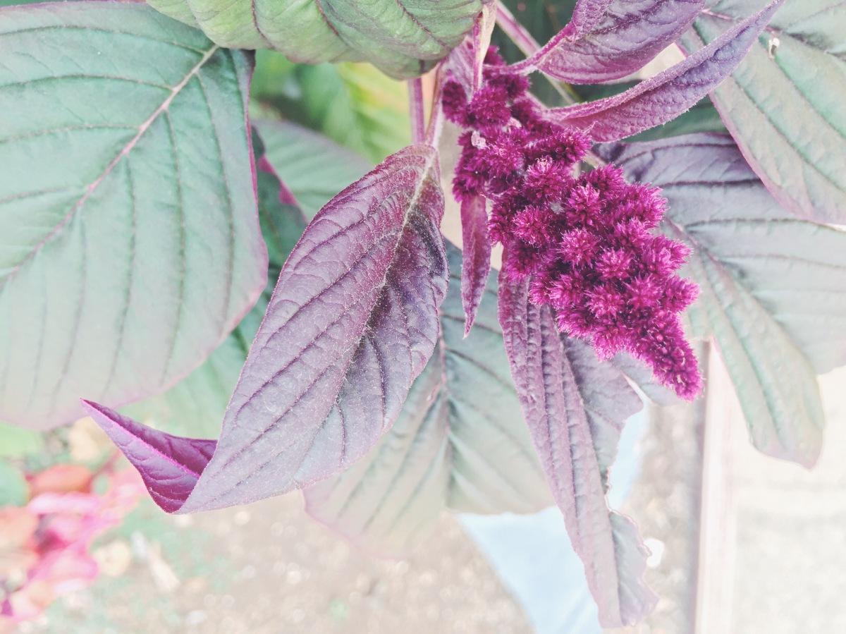 Garden Eats Celosia Edible Finger Lakes Magazine