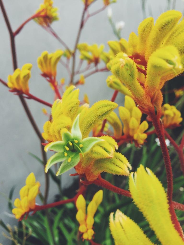 Garden Eats blooming kangaroo paw