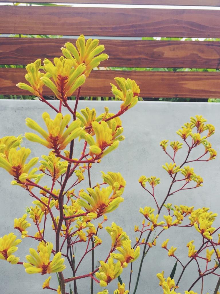 Garden Eats Kangaroo Paw Yellow